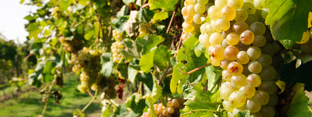 pigiatura dell' uva