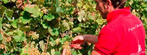 uva bio Trebbiano di Spagna vendemmia a mano all'ACETAIA DEL CRISTO